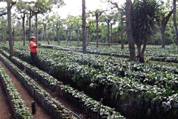 coffee esperanto farm