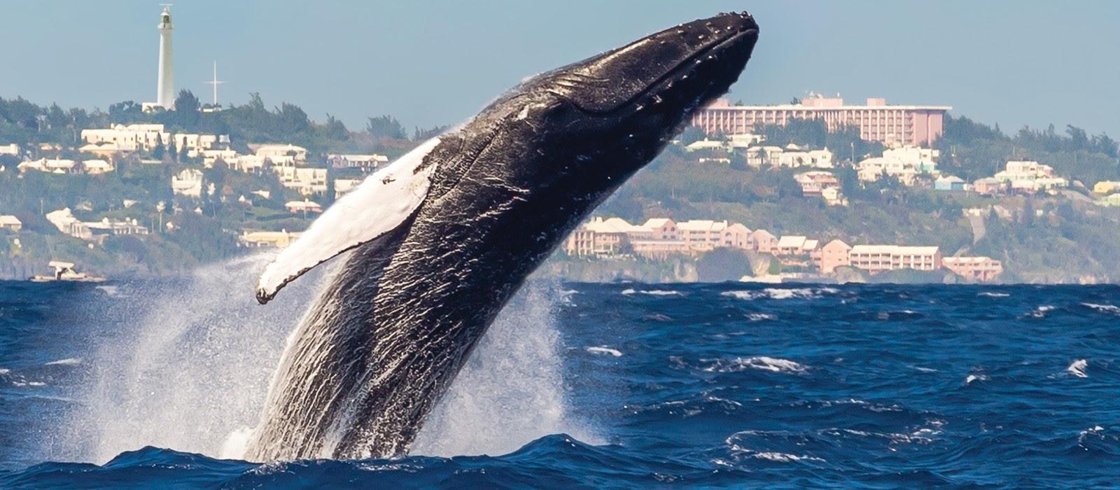 weekend getaways to Bermuda - ber whalewatching